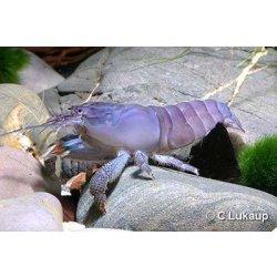 Blaue Monsterfächergarnele Gabun-Fächerhandgarnele Fächergarnele Atya gabonensis günstig kaufen Aquaristik-Langer