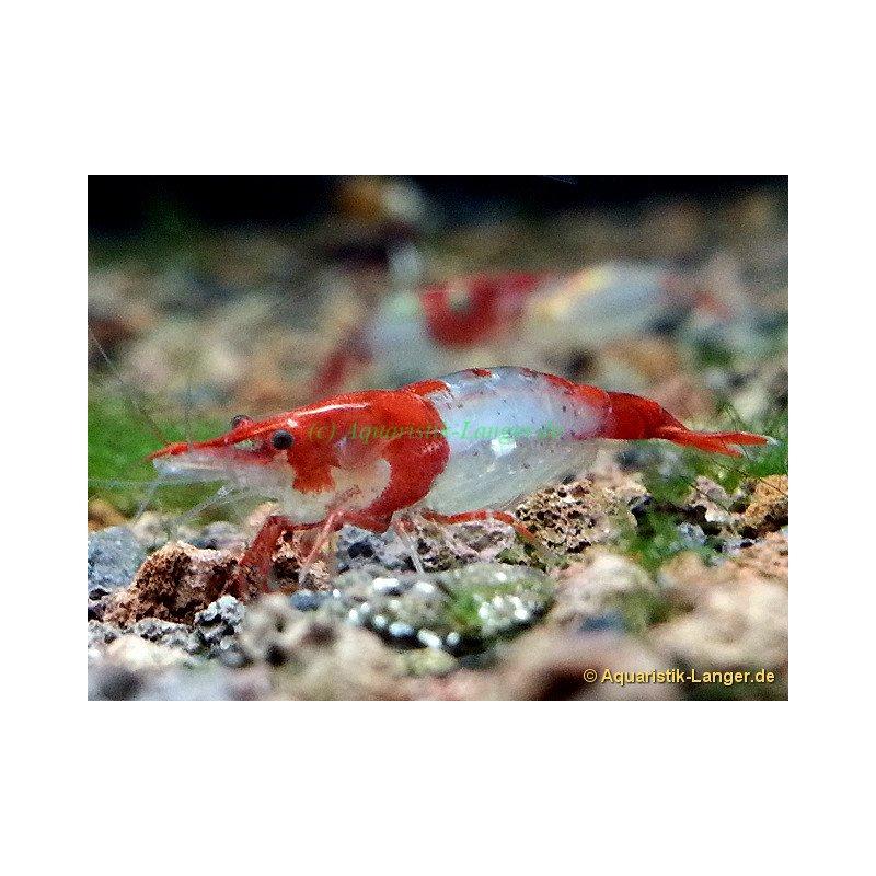 sakura red rili shrimp rote rili neocaridina davidi g nstig kaufen 1 99. Black Bedroom Furniture Sets. Home Design Ideas