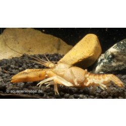 Procambarus vasquezae Mexikanischer Flusskrebs Aquaristik-Langer