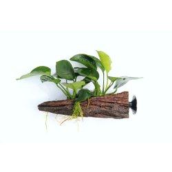 Anubias auf Wurzel mit Sauger Aquarienpflanze günstig kaufen