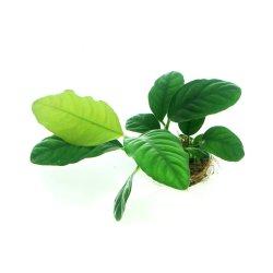 DENNERLE Anubias barteri coffeifolia Wasserpflanze für Aquarium günstig kaufen Aquaristik-Langer