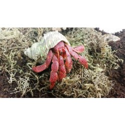 Erdbeer Landeinsiedlerkrebs Coenobita perlatus günstig...