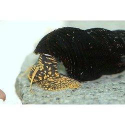 Tylomelania yellow spotted Perlhuhnschnecke gelb gepunktet günstig kaufen Aquaristik-Langer