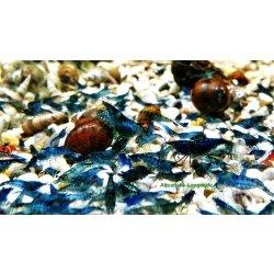 Blue Dream Blue velvet Garnele Neocaridina davidi Aquaristik-Langer