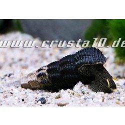 Goldfühler-Tylomelania Tylomelania yellow antena Tylomelania gemmifera günstig kaufen Aquaristik-Langer
