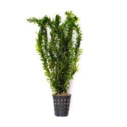 Wasserpest Egeria densa Wasserpflanzen günstig kaufen