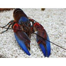 Zebrakrebs Tigerkrebs Cherax peknyi blue claw Flusskrebs...