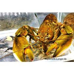 Papuakrebs Cherax monticola Flusskrebs günstig kaufen Aquaristik-Langer