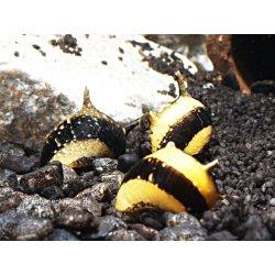 Geweihschnecken gelb-schwarz Hörnchenschnecke Clithon...