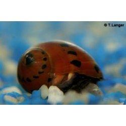 Rennschnecke Neritina red spotted orange track günstig kaufen Aquaristik-Langer
