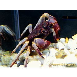Rote Pantherkrabbe Paratelphusa ferruginea Wasserkrabben günstig kaufen Aquaristik-Langer