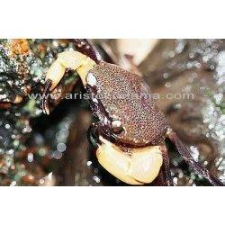 White claw crab Syntripsa flavichela Weiße Wasserkrabben...