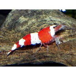 Crystal red Garnele Caridina cantonensis red bee K4 günstig kaufen
