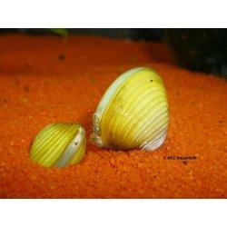 Goldene Körbchenmuschel Corbicula javanicus Muscheln kaufen Aquaristik-Langer