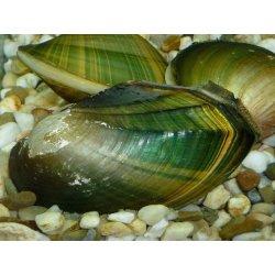 Grüne Jademuschel Uniandra contradens Süßwassermuschel...