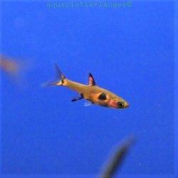 Zwergbärbling, Minifisch, Boraras maculatus