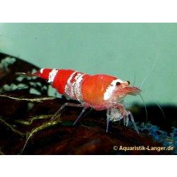 Crystal red Garnele Caridina logemanni red bee rot-weiße Garnele günstig kaufen Aquaristik-Langer