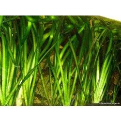 Riesenvallisnerie Vallisneria australis Gigantea günstig kaufen Aquaristik-Langer