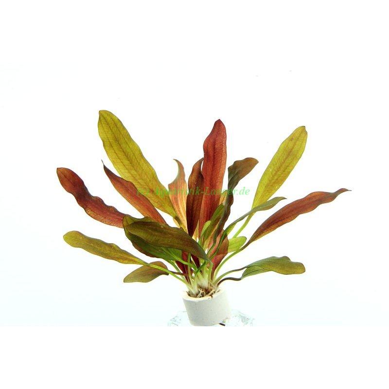 schwertpflanze echinodorus rubin wasserpflanzen g nstig. Black Bedroom Furniture Sets. Home Design Ideas