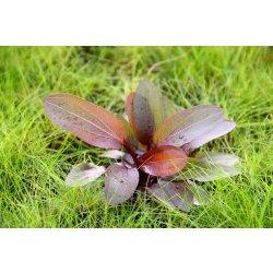 """Schwertpflanze, Echinodorus """"Red Rubin"""""""