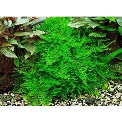 Javamoos Taxophyllum barberi (Vesicularia dubyana)...