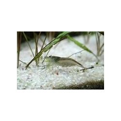 Amanogarnele Algengarnele Caridina japonica (multidentata) günstig kaufen Aquaristik-Langer