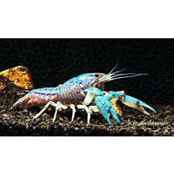 Blauer Floridakrebs, Blauer Floridahummer, Procambarus alleni günstig kaufen Aquaristik-Langer