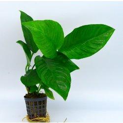 Anubias heterophylla verschiedenblättriges Speerblatt günstig kaufen Aquaristik-Langer