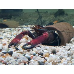 Cherax boesemani Flusskrebs Papuakrebs günstig kaufen Aquaristik-Langer