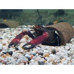 Cherax boesemani Flusskrebs Papuakrebs günstig kaufen...