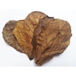 Seemandelbaumblätter 10 Stück Größe bis 10 cm günstig kaufen