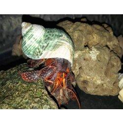 Erdbeer Landeinsiedlerkrebs Coenobita perlatus günstig kaufen Aquaristik-Langer