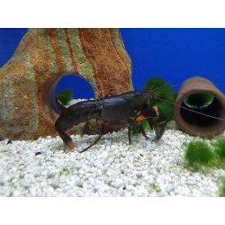 Cherax sp. Black Scorpion, Flusskrebs, Männchen günstig...