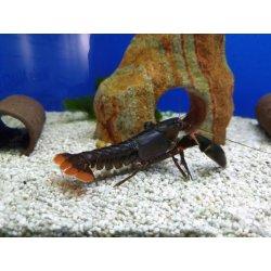 Cherax sp. Black Scorpion, Männchen