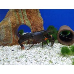 Cherax sp. Black Scorpion, Flusskrebs, Männchen günstig kaufen