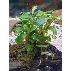 Bucephalandra spec. Wavy Leaf auf Wurzel günstig kaufen