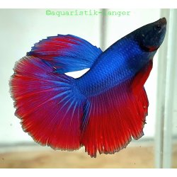 Kampffisch Betta-Halfmoon Betta splendes