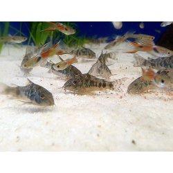 Marmor-Panzerwels, Corydoras paleatus