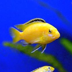 Gelber Labidochromis, Yellow, Labidochromis caeruleus