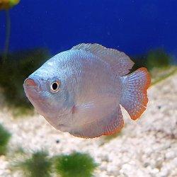 Zwergfadenfisch neonblau, Trichogaster lalilus / Colisa lalila