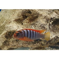 Hongi red top, Labidochromis hongi RED TOP