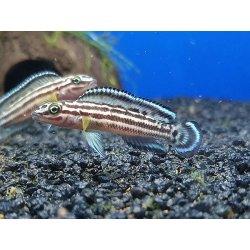 Vierstreifen-Schlankchichlide, DNZ, Julidochromis regani