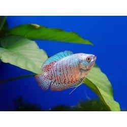 Zwergfadenfisch Koralle-blau, Colisa lalia