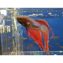 Kampffisch Betta splendes long tail, Männchen