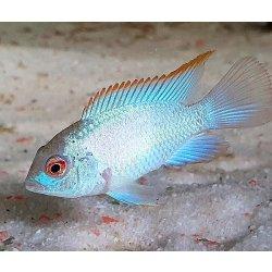 Neonblauer Blaupunktbuntbarsch, Aequidens pulcher spec Neonblue
