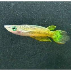 Goldener Streifenhechtling - Aplocheilus lineatus gold