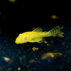 Goldener Antennenwels albino Ancistrus dolichopterus albino gold