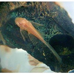 Goldener Schleier-Antennenwels albino Ancistrus dolichopterus albino long fin