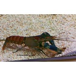 Cherax pulcher, hoa creek, Blau-rosa Krebs, große Tiere, Paar