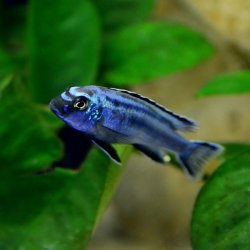 Blauer Johanni Melanochromis maingano
